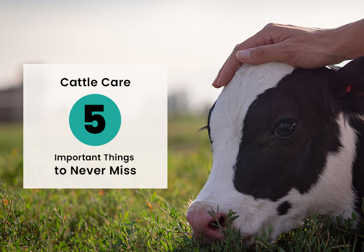 Cattle Care – Five Important Things to Never Miss