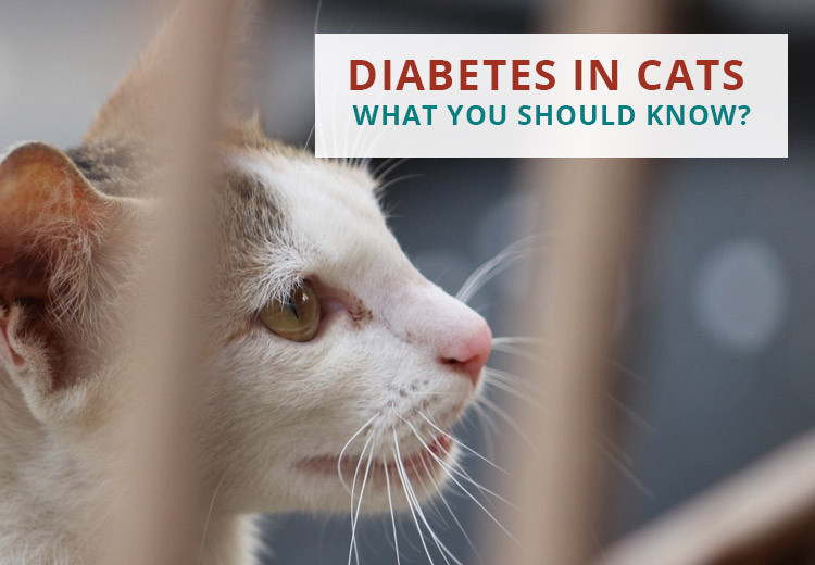 Diabetes In Cats: What You Should Know?