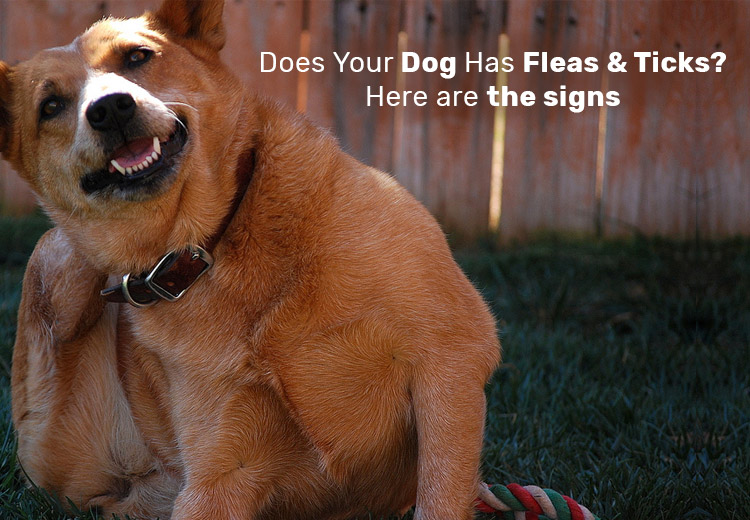 Does Your Dog Has Fleas and Ticks? Here are the signs