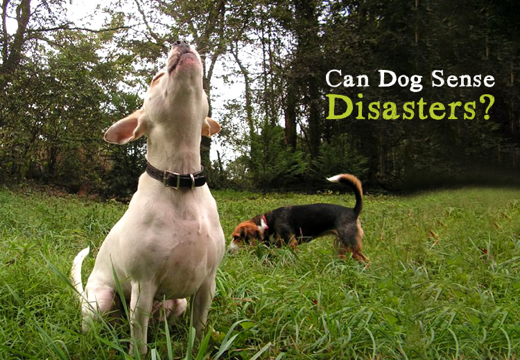 Can Dogs Sense Disasters