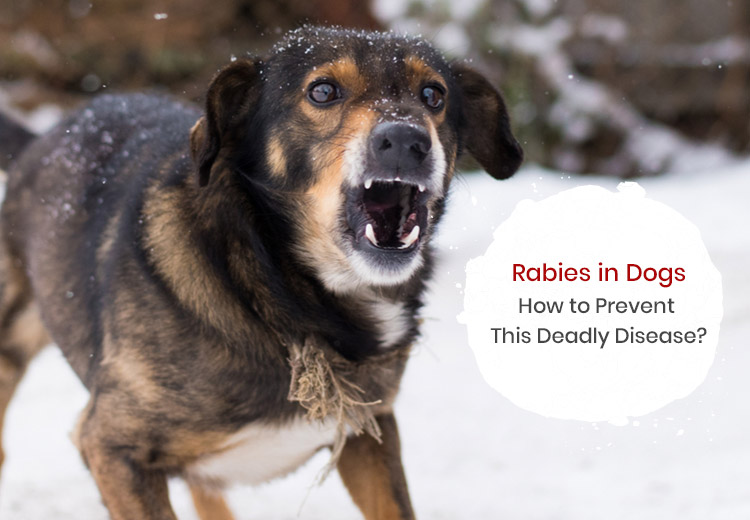Rabies in Dogs: How to Prevent This Deadly Disease?