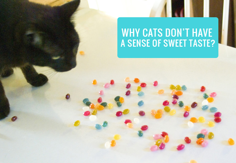Why Cats Don't Have A Sense of Sweet Taste?